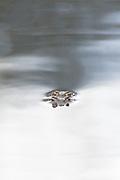 Common toads (Bufo bufo) in amplexus. Dorset, UK.