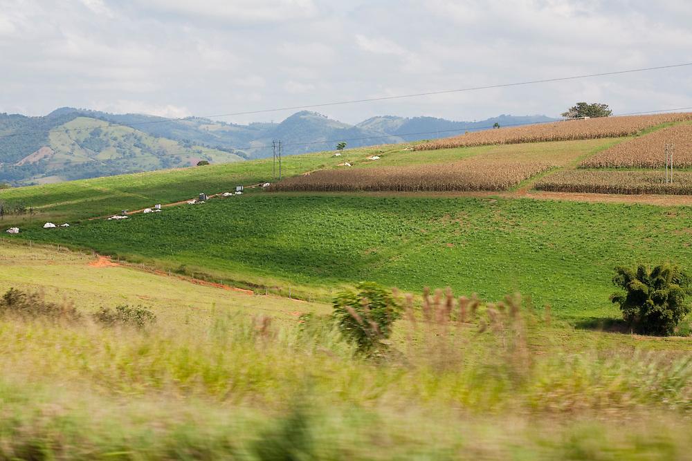 Pouso Alegre_MG, Brasil...Plantacao de milho em Pouso Alegre...The corn plantation in Pouso Alegre...Foto: LEO DRUMOND / NITRO.....