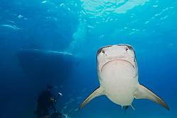 Tiger Shark, Galeocerdo cuvier, scuba diver, and boat, West End, Grand Bahama, Bahamas, Caribbean, Atlantic Ocean