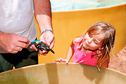child curiously watches a baby hawksbill sea turtle getting cleaned by a volunteer, Eretmochelys imbricata, Marine Center of Juno Beach, Florida