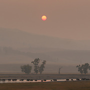 A herd of bison (Bison bison) crossing the Lamar River, shrouded in heavy smoke from west coast forest fires. Yellowstone National Park, Wyoming