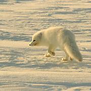 Arctic Fox (Alopex lagopus) Along the ice edge of Hudson Bay, Cape Churchill, Manitoba, Canada. November. Winter.