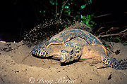hawksbill turtle, Eretmochelys imbricata, covers nest after laying eggs on beach, Gulisaan Island, Sabah, Borneo, Malaysia  ( South China Sea )