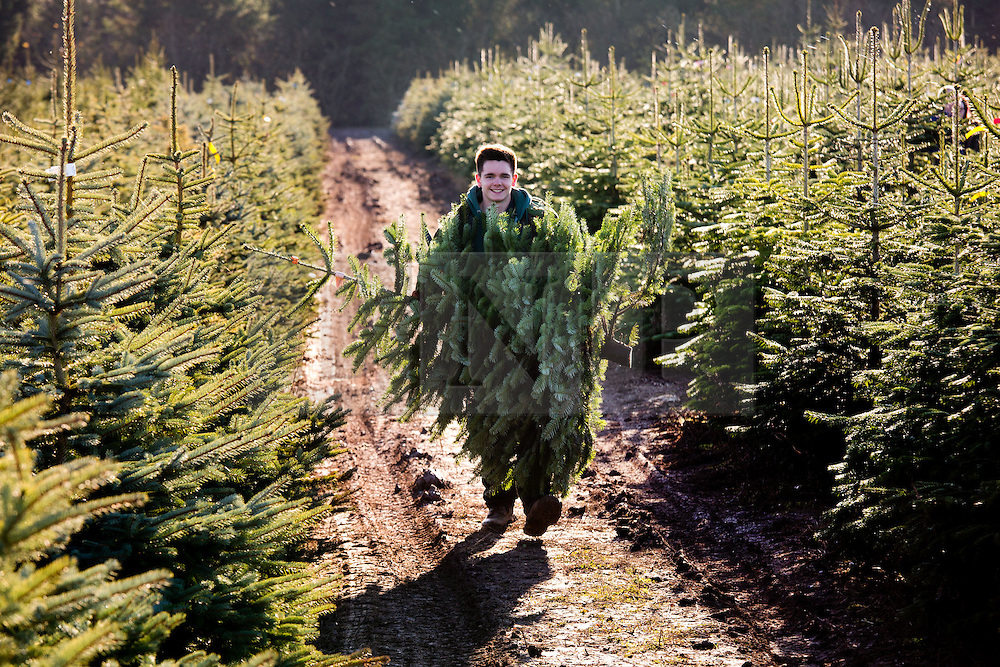 """© Licensed to London News Pictures. 1/12/2013. Market Bosworth, Leicestershire, UK.  Pictured, Harrison Conner, carries back a tree he has just felled past hundreds of others in one of the growing fields. The Frizeland Christmas Tree Centre, Market Bosworth, is one of the largest providers of Christmas trees in the country. This year they planted forty thousand new trees to add to their total of over three hundred thousand. As well as supplying large wholesalers, they also offer a """"pick your own"""" service for individuals. Some people choose their trees early in the year, mark it with a tie colar and then collect it nearer Christmas. This year has seen the tree nursery grow even larger than last year and is expecting bumper sales due to the recent good weather. Photo credit : Dave Warren/LNP"""