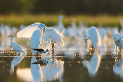 Great egrets, Lemon Lake, Great Trinity Forest near Trinity River, Dallas, Texas, USA.