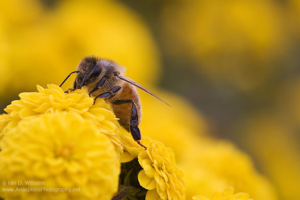 European Honey Bee on Chrysanthemum, Tasmania