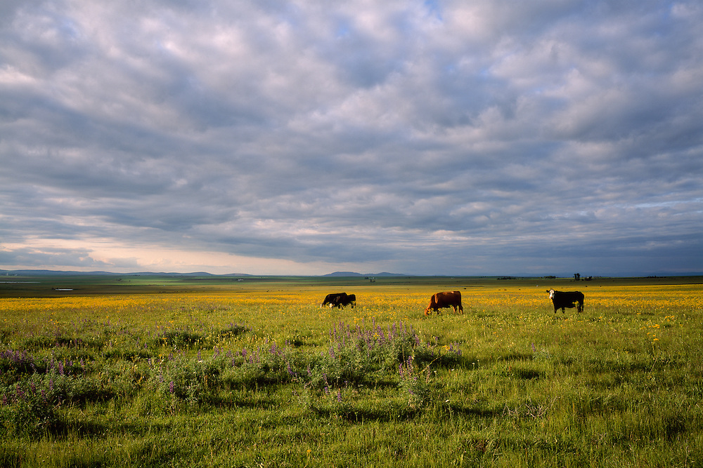 Grazing cattle and wildflowers near Grangeville in North Idaho.  Licensing and Limited Edition Prints.