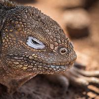 Conolophus subcristatus, Galapagos Land Iguana, North Seymour Island, Galapagos