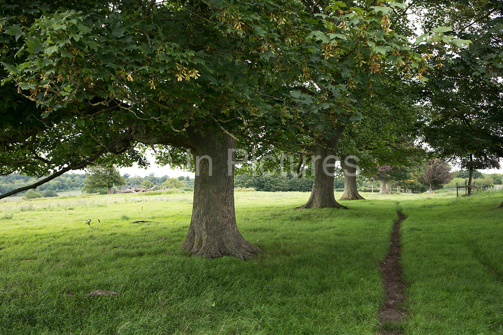 Line of Sycamore trees in the countryside near Hever, England, United Kingdom.