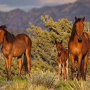 Wild Mustang family portrait, Sandoval County, New Mexico