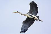 Grey Heron in flight | Gråhegre i lufta