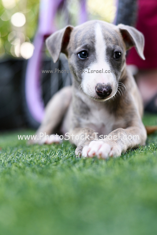 pedigree Whippet puppy on the grass