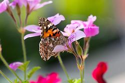 Butterfly on pelargonium flower