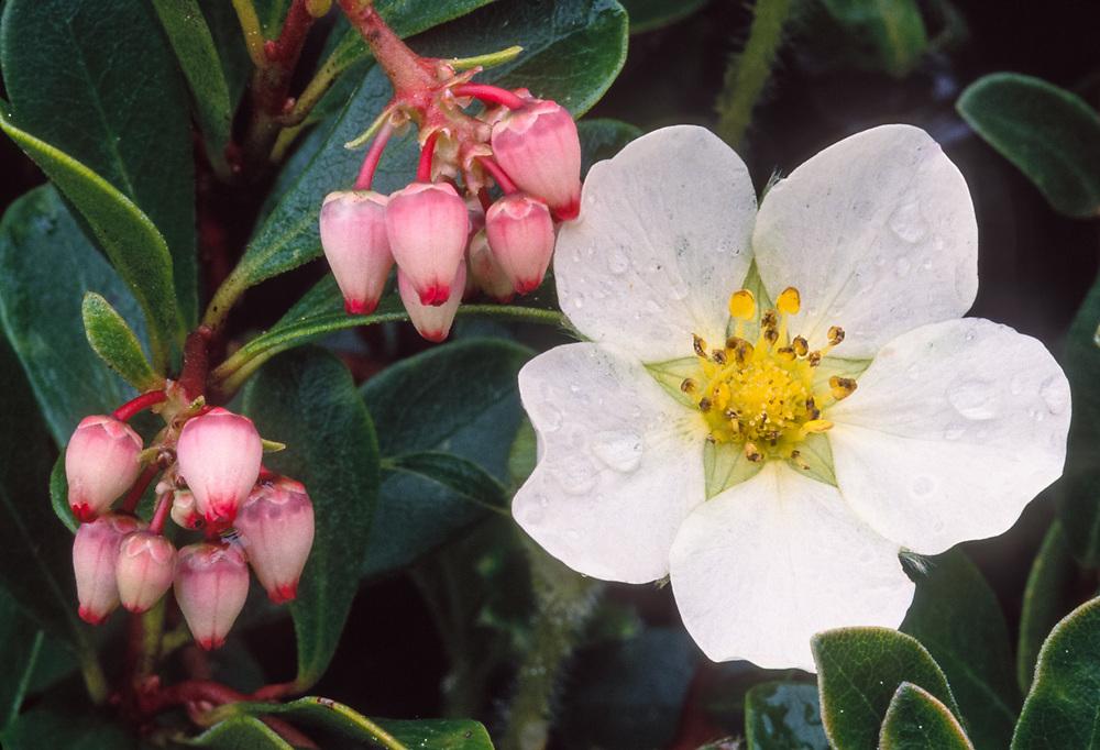 Wildstrawberry and kinnikinnick, Pacific Northwest,  USA