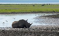 Southern White Rhinoceros, Ceratotherium simum simum, cools off by rolling in mud at the edge of a pond in Lake Nakuru National Park, Kenya