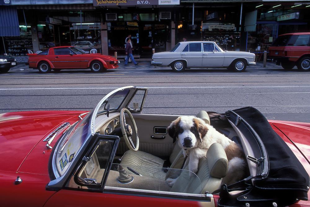 Australia, Victoria, Saint Bernard puppy sits in back seat of convertible on Auckland Street in Saint Kilda near Melbourne
