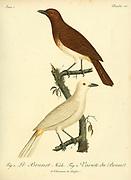 Le Brunet Male and Female from the Book Histoire naturelle des oiseaux d'Afrique [Natural History of birds of Africa] Volume 3, by Le Vaillant, François, 1753-1824; Publish in Paris by Chez J.J. Fuchs, libraire 1799 - 1802