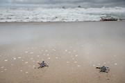 Baby Green Sea turtles, Sukamade Beach, Meru Betiri National Park, East Java, Indonesia, Southeast Asia