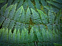 Bracken Fern fronds line up