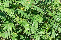 Smooth sumac spreads rapidly once the first plant becomes established in an area. This native member of the cashew family produces very beautiful bright green leaves in the spring that turn to bright scarlet in the winter. Native Americans in the Pacific Northwest traditionally smoked these dried leaves for medicinal uses, such as treating ulcers.