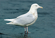 Glaucous Gull Larus hyperboreus L 62-68cm. Bulky, pale-looking gull. Similar size to Great Black-backed but closer to Herring in plumage terms. Note adult's white wing tips; bill is massive and legs are pinkish at all times. Sexes are similar. Adult in winter has pale grey back and upperwings with white wingtips and trailing margin. Plumage is otherwise mainly white with variable dark streaking on head and neck. Eye has pale iris and orbital ring is yellow. In breeding plumage (sometimes seen in late winter) similar but without dark streaks. Juvenile and 1st winter are mainly pale buffish grey but very pale primaries. Pink bill is dark-tipped. Adult plumage acquired over 3 years. 2nd winter is very pale with faint streaks marbling. 3rd winter is overall paler still. Voice Utters a kyaoo and an anxious ga-ka-ka. Status Scarce non-breeding visitor, commonest on N coasts in late winter.