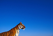 Image of a bengal tiger, panthera tigris tigris, property released by Randy Wells