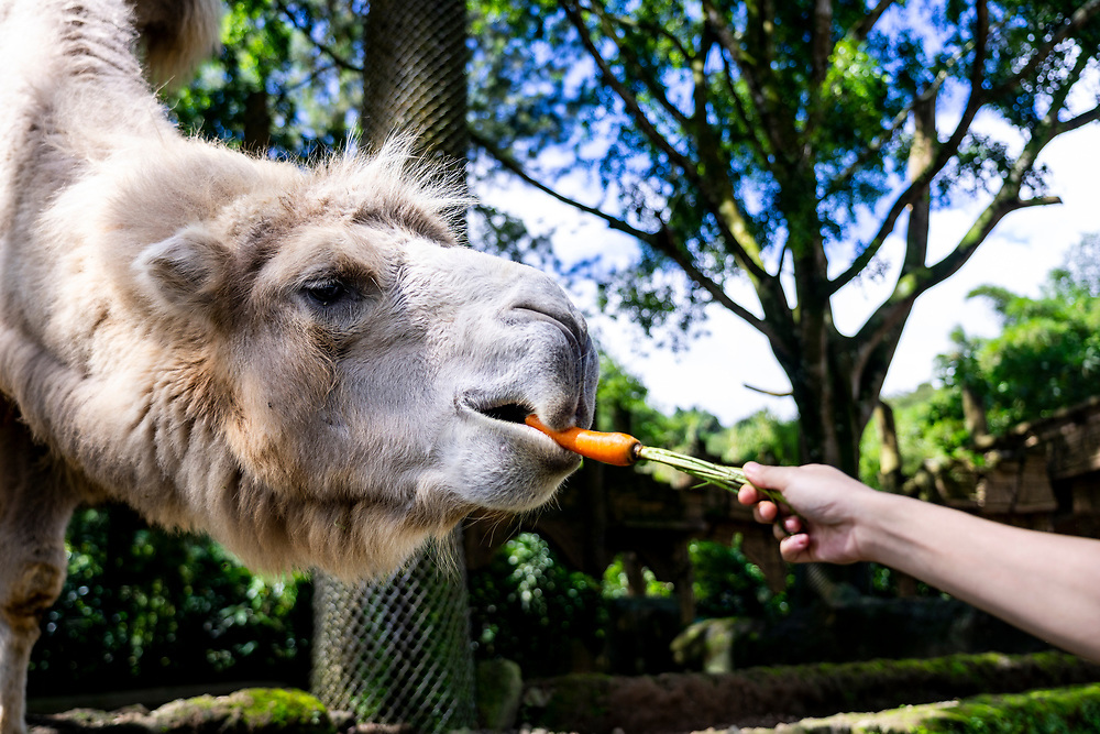 Teawalk & Safari (Private Coach Tour) . A camel waits for a treat from a visitor at Taman Safari. on June 3, 2019.