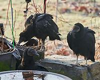 Black Vulture (Coragyps atratus). Image taken with a Leica SL2 camera and Sigma 105 mm f/2.8 macro lens
