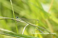06330-00101 Spaghnum Sprite (Nehalennia gracilis) female in fen Dent Co. MO