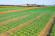 Lettuce crop growing in field, Buckanay Farm, Alderton, Suffolk, England, UK