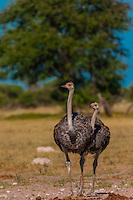 Female ostriches, Nxai Pan National Park, Botswana