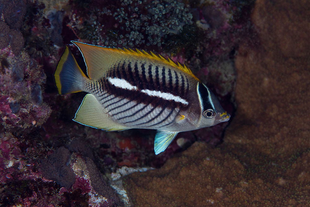 Unkown butterflyfish, Green Island, a small volcanic island in the Pacific Ocean , Taiwan