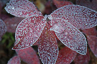 Frost and ice on berry leaves