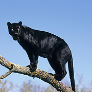 Black Panther in the melanistic or dark color phase of the leopard. Captive Animal