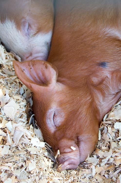 Smiling piglet sleeping on pine shavings.