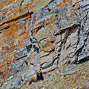 glacier national park grizzly bear standing against colorful rock background
