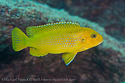 A female Chindongo heteropictus swims in the rocky shallows of Makulawe, a rocky outpost north of Likoma Island, Lake Malawi, Malawi, Africa.
