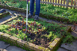 Weeding chickweed in a bed in the vegetable garden with a hoe
