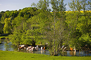 Herd of cows cool off in River Windrush, The Cotswolds, Swinbrook, Oxfordshire, UK