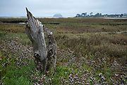 Dead treet stump in at Sweet Springs Nature Preserve, Baywood Park, San Luis Obispo County, California, USA