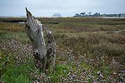 Dead treet stump in at Sweet Springs Nature Preserve, Baywood Park, San Luis Obispo County, California, USA