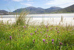 Common spotted orchids on South Harris, Outer Hebrides. Dactylorhiza fuchsii subsp. fuchsii