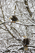Two bald eagles (Haliaeetus leucocephalus) hunt from a tree above the Skagit River in Washington state in winter.