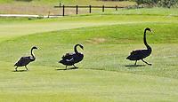 ESBEEK - Zwarte Zwanen op de baan. Midden-Brabant Golfbaan. COPYRIGHT KOEN SUYK