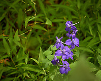 Larkspur. Image taken with a Leica CL camera and 60 mm f/2.8 lens
