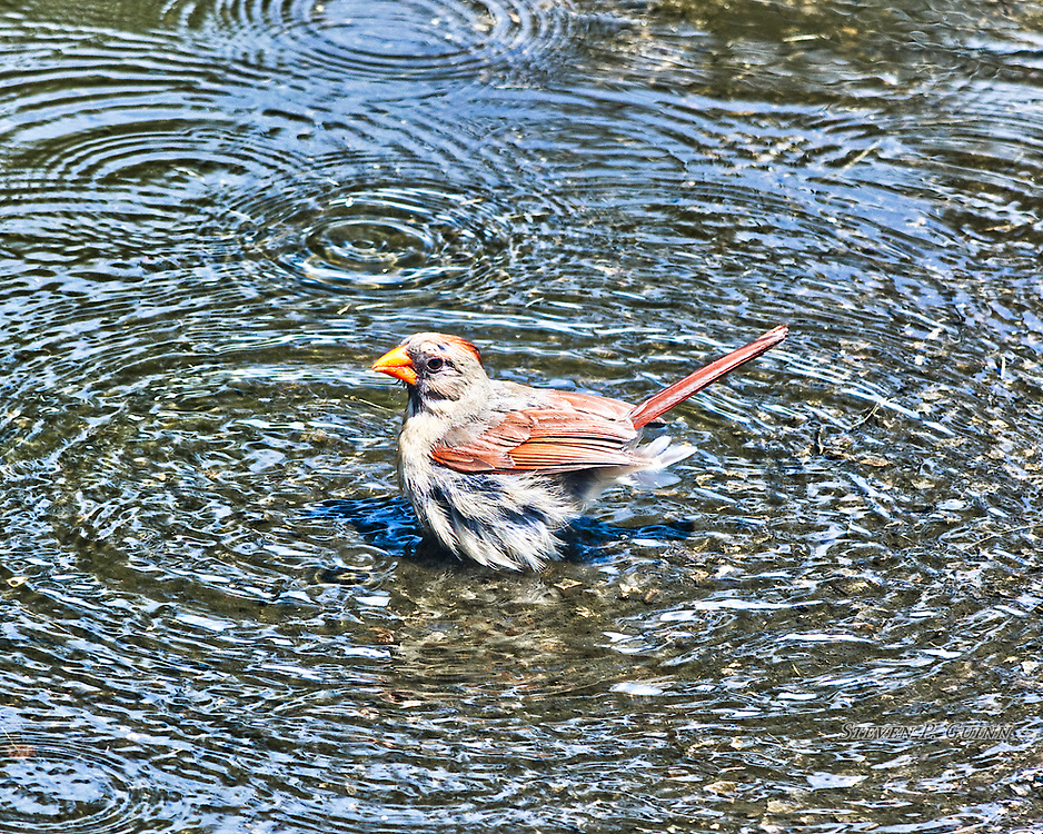 """I captured this image of a female Northern Cardinal in a puddle on July 23rd, 2017. On this day, I was watching a nearby bird feeder and noticed this female Northern Cardinal (males are bright red) bathing in this puddle in my driveway. I wanted most to capture the fine, string-like texture of the feathers under it's wing, as well as the facial details. I also wanted to capture the detailing of the layers of it's wing feathers and the multiple sets of ripples in the puddle due the reflection of the blue sky contrasting with the asphalt throughout the entire image.  <br /> <br /> Printed on Hahnemühle Torchon paper. Limited to 300 productions per size.<br /> <br /> Framed prints are available in 20"""" x 16"""" and 30"""" x 24"""" sizes."""