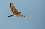 Levant Sparrowhawk - Accipiter brevipes - female