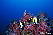 moorish idols, Zanclus cornutus, and soft corals, Richilieu Rock, Surin Islands, Thailand, ( Andaman Sea, Indian Ocean )