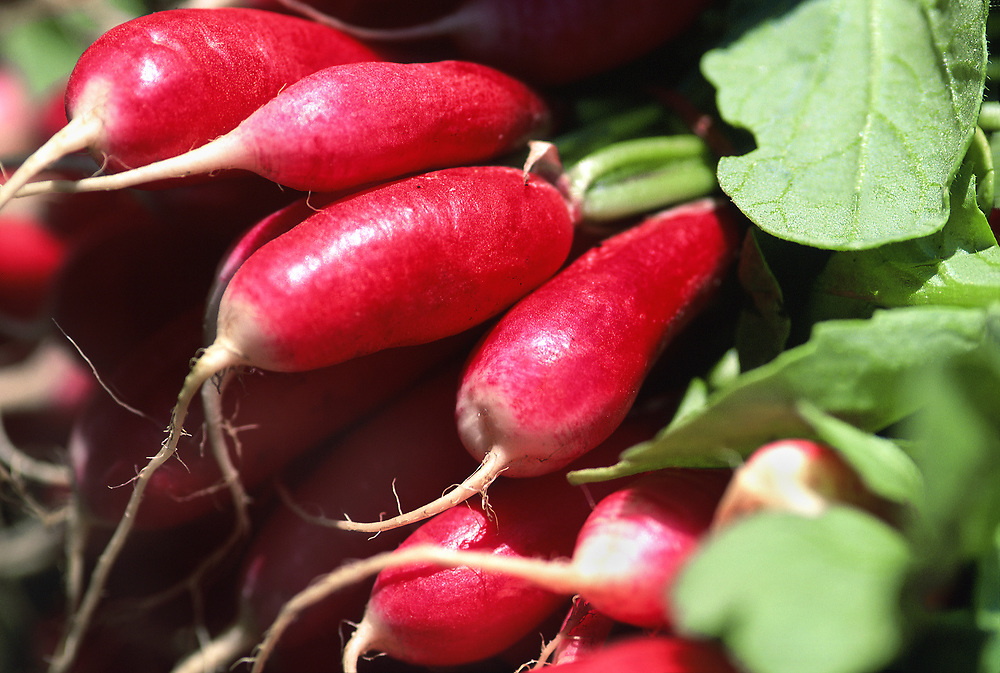 Close up selective focus photograph of bunches of French Breakfast Radishes