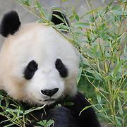 Panda feeding on bamboo at the San Diego Zoo in California. Captive Animal